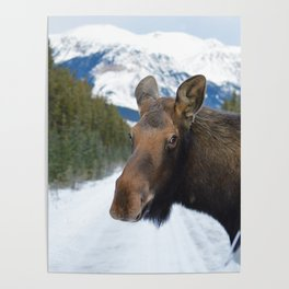 Beautiful Moose in Jasper National Park Poster