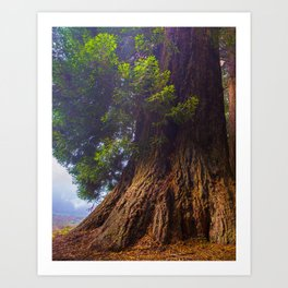 Giant Coast Redwood Art Print
