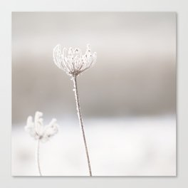 snowy queen anne's lace I Canvas Print