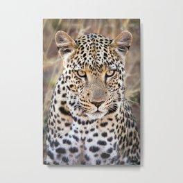 Majestic African Leopard Big Cat Metal Print