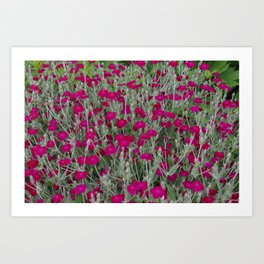 Hot Pink Dianthus Art Print