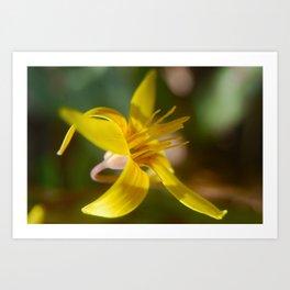 Trout Lily Art Print