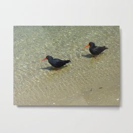 Variable Oystercatcher (Torea-pango) Metal Print