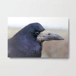 Curious Raven  Metal Print