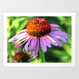 Cone Flower or Echinacea in Horicon Marsh Art Print