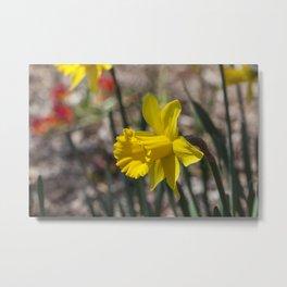 Daffodil 1 Metal Print