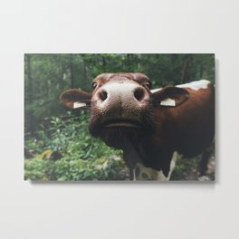 Curious Cow Metal Print
