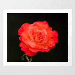 Beautifully Blooming Dynasty Rose Art Print