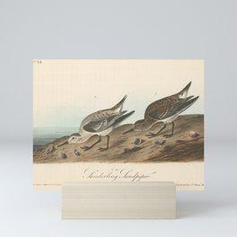 Vintage Print - Birds of America (1840) - Sanderling Sandpiper Mini Art Print