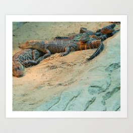Gator's In The Sun Art Print