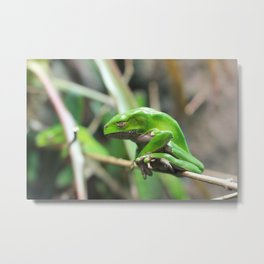 Waxy Monkey Frog Metal Print