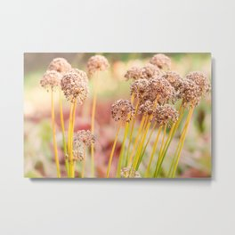 Allium - Onion Flowers in Autumn Metal Print