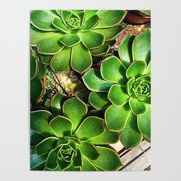 3 Succulents Poster