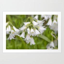 Wild Garlic Flowers Art Print