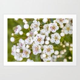 Small White Blossoms Art Print