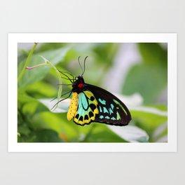 Goliath Birdwing Art Print