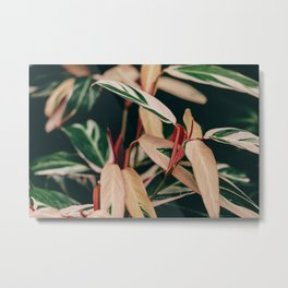 Stromanthe Triostar Metal Print