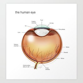 Human Eye Anatomy Illustration Art Print