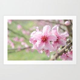 Peach Blossoms 2 Art Print