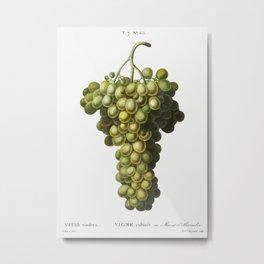 Vitis vinifera (Muscat blanc) from Traite des Arbres et Arbustes que lon cultive en France en pleine Metal Print