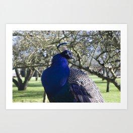 Peacock in the Morning Light Art Print