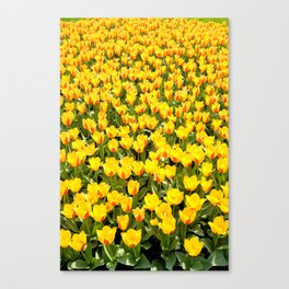 Plenty red and yellow Stresa tulips Canvas Print