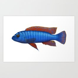 Malawi cichlids Labeotropheus trewavasae male Art Print