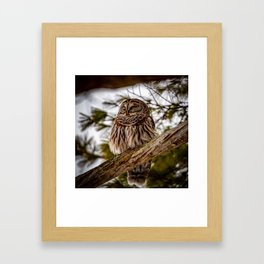 Barred owl perched in the treetops off the Otsego lake coast in Cooperstown, New York Framed Art Print
