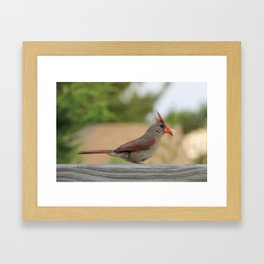 Hungry Cardinal  Framed Art Print