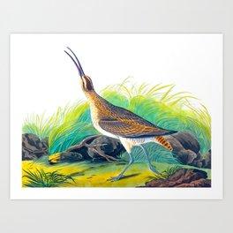 Hudsonian Curlew Art Print