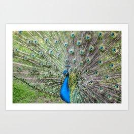 The peacock portrait Art Print
