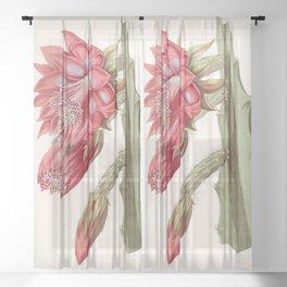 Disocactus speciosus/Cereus speciosissimus Sheer Curtain