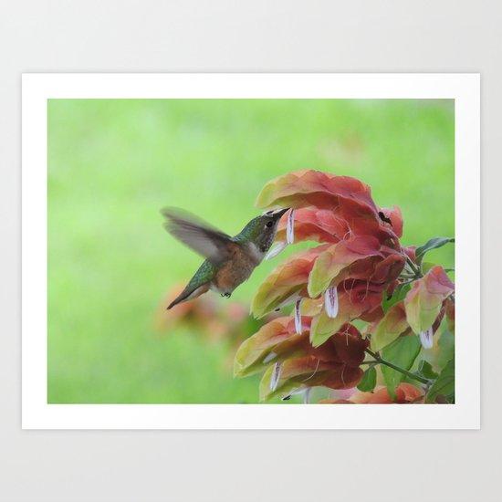 Hummingbird in Justicia Art Print