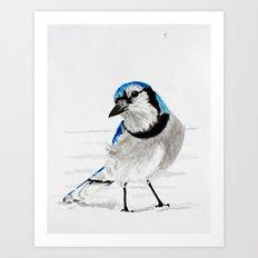 Blue Jay (Cyanocitta cristata) Art Print