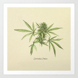 Vintage botanical print - Cannabis Art Print