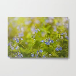 Beautiful blue speedwell flowerets Metal Print