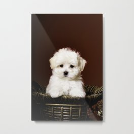 Adorable White Maltese Puppy Standing up in a Gold Christmas Basket Metal Print