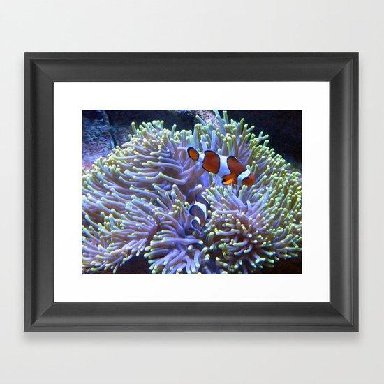 Australian Clownfish Framed Art Print