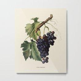 Black Grape Antique Botanical Illustration Metal Print