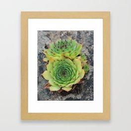 Houseleek Succulents Framed Art Print