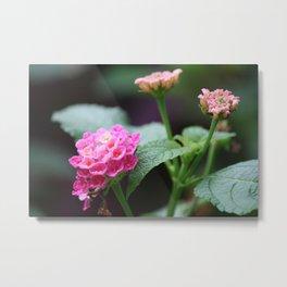 Pink Lantana Metal Print