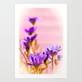 Osteospermum flowes Art Print