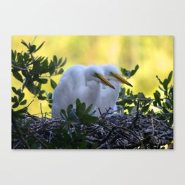 Young Egret Chicks Canvas Print