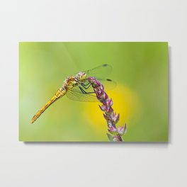 "Yellow dragonfly ""Sympetrum striolatum"" Metal Print"