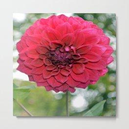 Flower of dahlia Metal Print