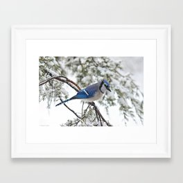 Beautiful Blue Jay Framed Art Print