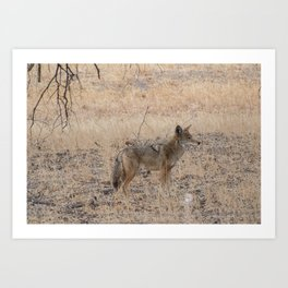 Coyote alone in the woods Art Print