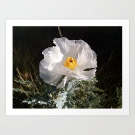 White Prickly Poppy Art Print