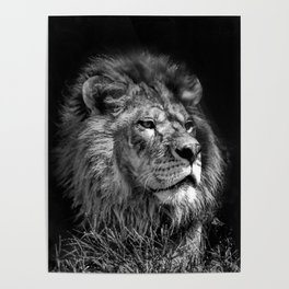 Proud Young Lion Poster