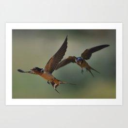 Barn swallows in flight Art Print